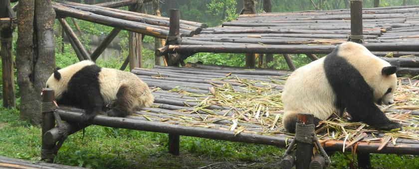 Atractii Baza de cercetare a ursilor Panda din Chengdu China - vezi vacantele