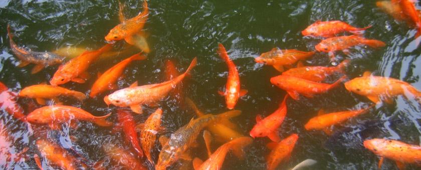 Gradina Mandarinilor Yu