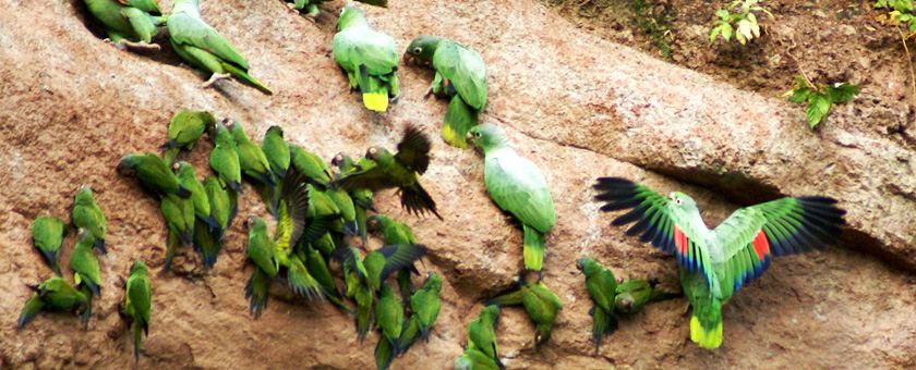 Amazonia: Papagali in Parcul National Yasuni, Ecuador Poza realizata de Daniela Shah, februarie 2008