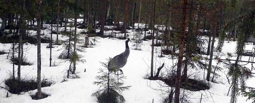 Atractii Ranua Wildlife Finlanda - vezi vacantele
