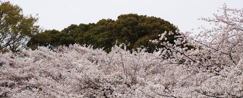 Atractii Sakura Japonia - vezi vacantele