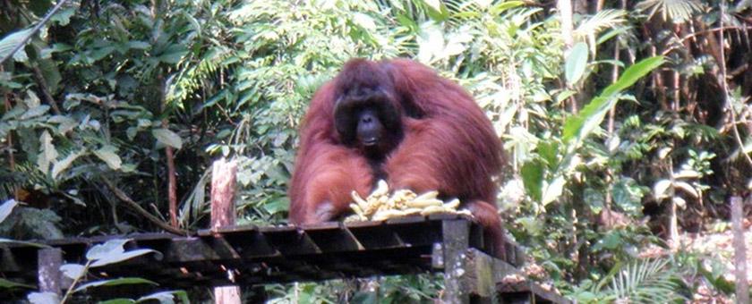 Atractii Semenggok Malaezia - vezi vacantele
