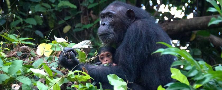 Atractii Gombe Stream Tanzania - vezi vacantele